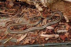 The first 2 weeks of March 2010 - Dark male Thamnophis sirtalis pickeringii basking on March 14th