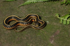 Baby snake 2 month old from mountain population San Mateo County; first signs of red on the sides.