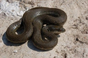 Female T.m.canescens of 50 cm TL found November 2007. The snake showed signs of recent parturition.