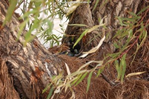 """""""Mating ball"""" of T.e.obscurus (7.1) found in June 2008 at site 3 at 11.55 AM in a willow tree."""