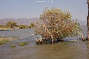Habitat of T.e.obscurus and T.m.canescens. Lake Chapala in June 2008, site 3. Note the low water level and the willow trees in the water.