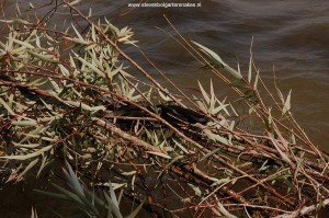 Basking T.e.obscurus (lower group of 3-4 snakes) and T.m.canescens (melanistic specimen) in a willow tree in Lake Chapala in June 2008 at 11 AM, site 3.