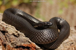 Adult melanistic male of T..m.canescens (61,5 cm TL) from Lake Chapala.