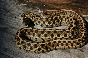 Thamnophis m.marcianus wildcaught male (adult)