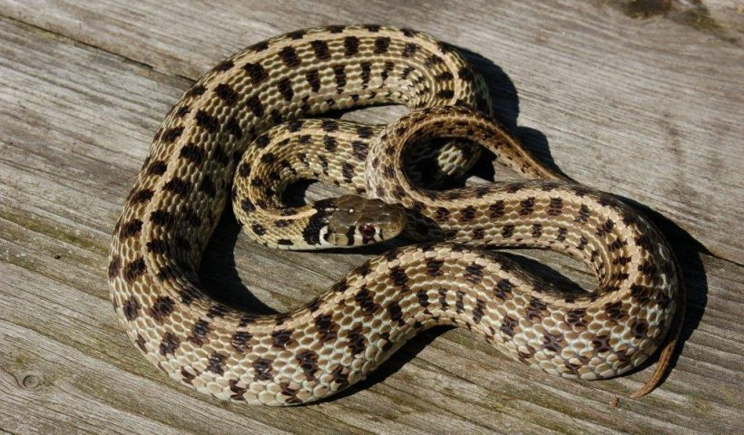 Thamnophis m.marcianus captive bred female (adult)