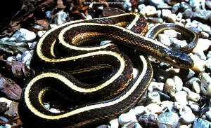 Thamnophis sirtalis parietalis from Berthoud, Colorado. Male of 60 cm.