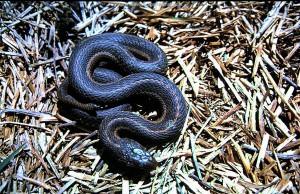 Thamnophis elegans vagrans uit Berthoud, Colorado. Vrouwtje van 68 cm.