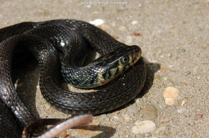 Thamnophis eques cuitzeoensis, male 3 at the age of 5 years, lago de Cuitzeo.