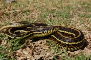 Thamnophis eques eques, adult female from Toluca, Mexico