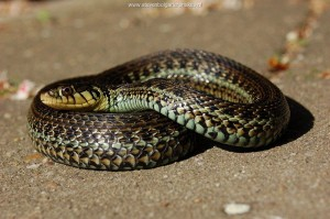 Thamnophis eques insperatus, adult captive bred female at the age of 3 years old.