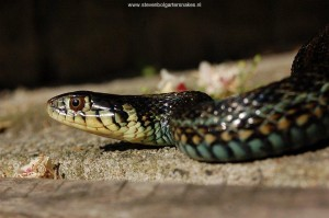 Thamnophis eques insperatus, head detail of a male at the age of 3 years old (captive bred).