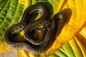Thamnophis eques insperatus, 10 month old snake (captive bred), light morph.