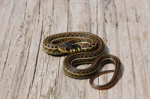 Thamnophis eques insperatus, juvenile of a few days old (captive bred, F2) from the same litter as the previous picture, with beautiful yellow colors .