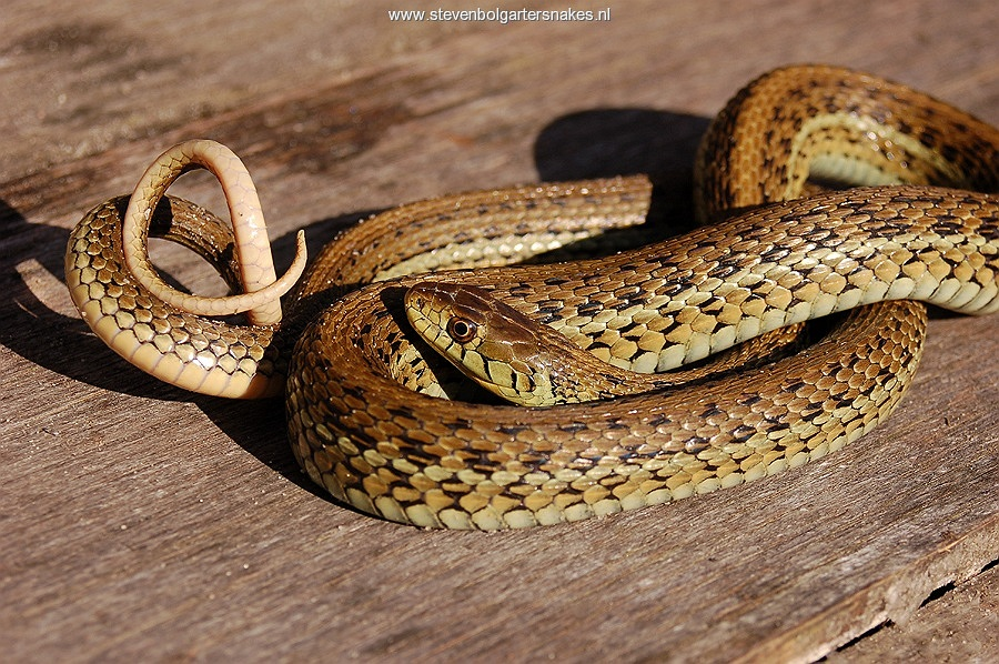 Thamnophis eques scotti, adult male (Tes 2), 93 cm long from Jalisco, Mexico