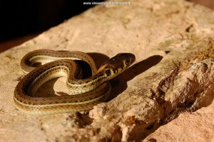 Thamnophis eques scotti, captive bred, 1 day old