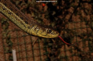 Thamnophis eques scotti, adult female (Tes 1), 97 cm long from Jalisco, Mexico