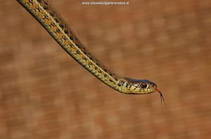 Thamnophis eques scotti, captive bred, 1 year old (Tes 15)