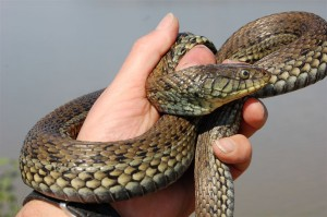 Thamnophis eques scotti; Lago Magdalena, Jalisco, Mexico