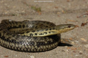 Thamnophis melanogaster canescens, adult female from lake Cuitzeo, Mexico.