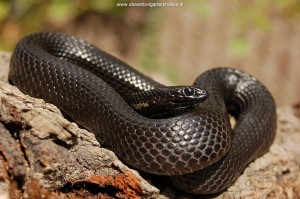Thamnophis melanogaster canescens, melanistic male from lake Chapala, Jalisco, Mexico.