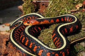 Young female (nr. 52, captive bred) 13 month old.