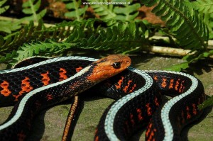 Adult male (nr. 75, captive bred) 3 years old.