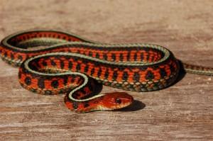 Thamnophis sirtalis infernalis; Marin County, California, USA