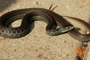 Thamnophis eques obscurus, adult male, more then 70 cm long from Jalisco, Mexico.