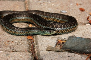 Thamnophis eques obscurus, adult female, 65 cm long from Jalisco, Mexico.