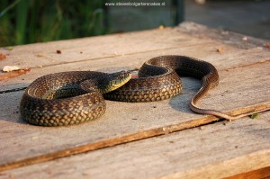 Thamnophis eques obscurus, adult female, 107 cm long from Jalisco, Mexico.