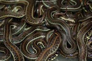 Newborn juveniles of Thamnophis eques obscurus.