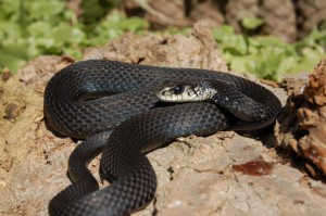 T.s.sirtalis melanistic; Adult male from Ontario, Canada