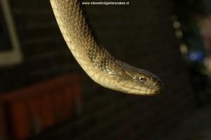 N.s.insularum; captive bred.