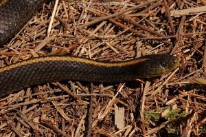 Big pregnant female T.a.atratus of 85 cm, beautiful orange-yellow spinal, San Mateo County, Ca.