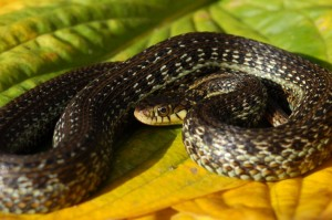 Thamnophis eques insperatus, 10 month old snake (captive bred), dark morph.