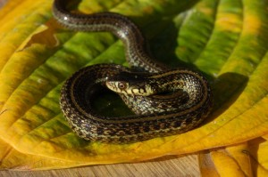 Thamnophis eques insperatus, 10 month old snake (captive bred), light morph with clear dorsal stripe.