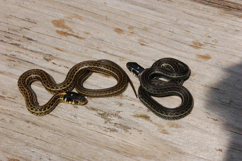Thamnophis eques insperatus, juveniles of a few days old (captive bred, F2); light and dark morph.