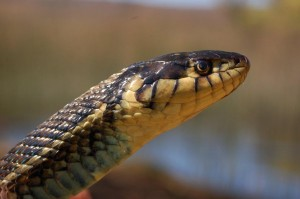 Thamnophis eques insperatus, head detail of female (dark morph), 95 cm total length, photographed in the wild on November 2008.