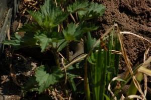 N.sipedon insularum ligt te zonnen tussen de vegetatie.