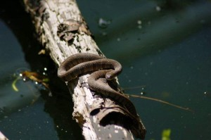 Banded N.s. insularum basking above the pond