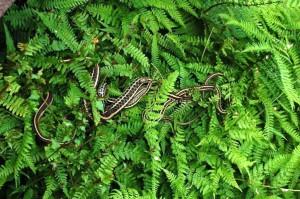 T.radix basking on ferns.