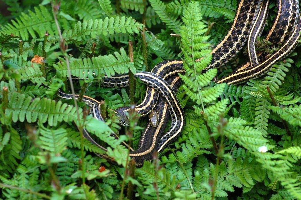 types of outdoor ferns. t.radix basking on ferns. types of outdoor ferns