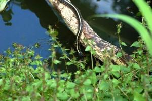 T.s. pickeringii drinking from the pond