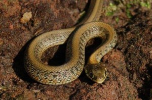 Juvenile Thamnophis eques scotti, few hours after birth. With aberrant pattern.