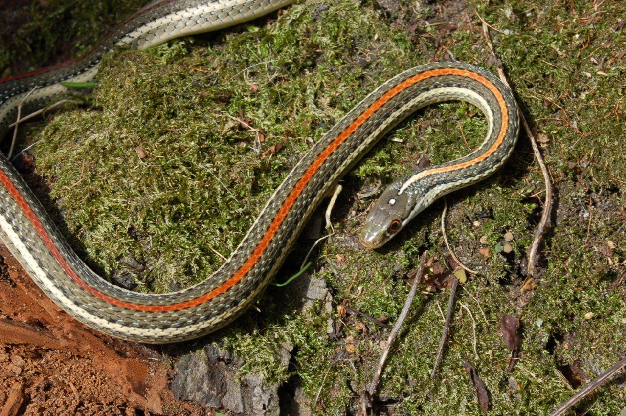 Redstripe Ribbon Snake Thamnophis proximus rubrilineatus