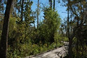 Habitat van T.p.orarius in Louisiana (oktober 2013); ondergelopen bos.