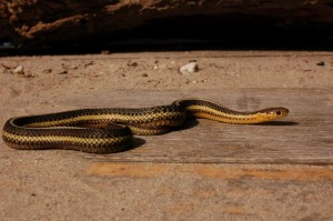 Adult female T.butleri (Captive bred)