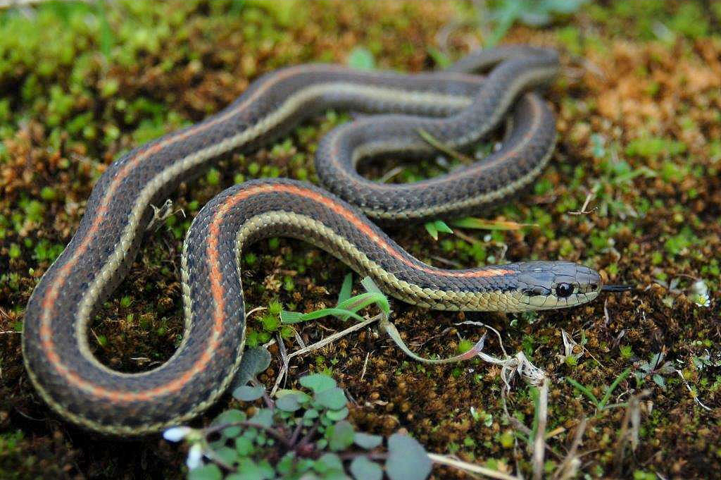 T.ordinoides(adult female; three stripe morph with orange vertebral stripe) in the wild in the coastal dunes close to Vancouver, Canada