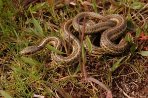 T.ordinoides (adult male; three stripe morph) in the wild in the coastal dunes close to Vancouver, Canada