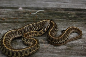 Thamnophis scaliger